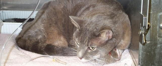 Внутривенное вливание жидкости кошке
