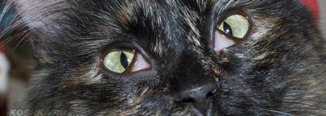Воспаление глаз у кошки