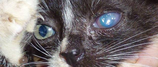 Воспаление глаза у кошки