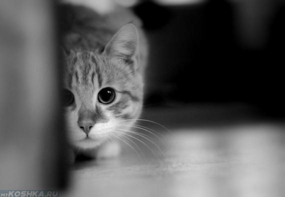 Серый кот с расширенными зрачками притаился