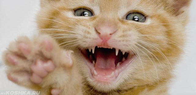 Молочные зубы у котёнка