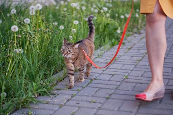 Кошку выгуливают на поводке
