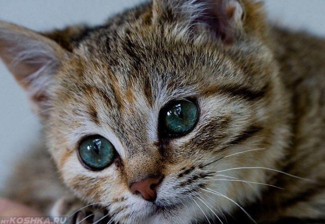 Кошка с голубыми глазами смотрит не в кадр