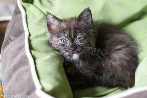 Чёрный котенок с инфекционным заболеванием