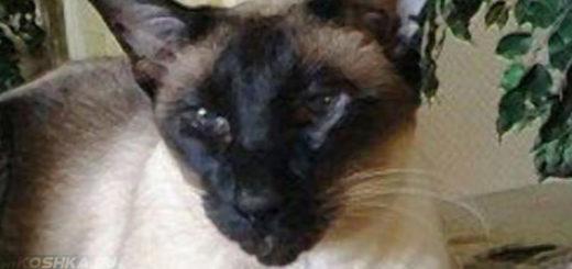 Сиамский кот в возрасте 15 лет