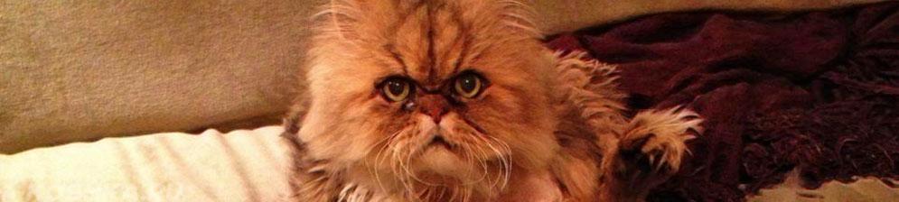 20 летняя персидская кошка