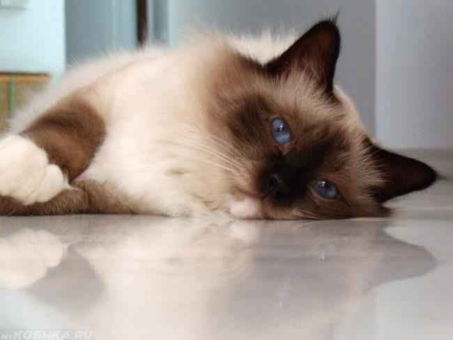 Бирманская кошка с голубыми глазами лежит на полу