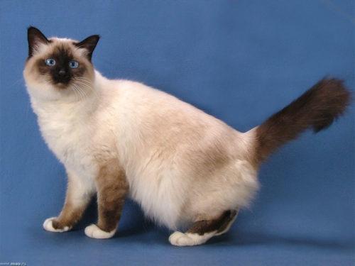 Бирманская кошка на синем фоне