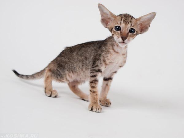Худой кот с большими ушами