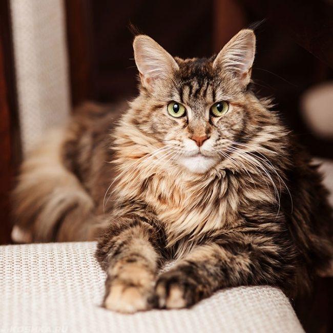 Пушистый кот породы мейн кун вытянул лапы на белую тканевую поверхность