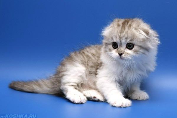 Серенький котик на голубом фоне