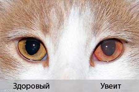 Здоровый глаз кошки и увеит