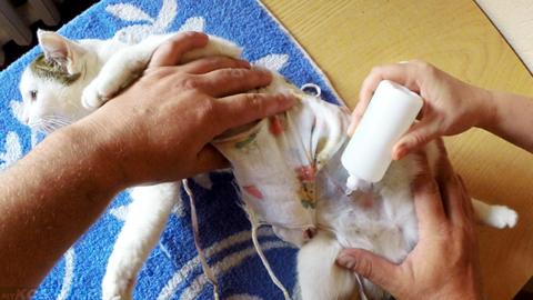 Обработка швов кошки после стерилизации