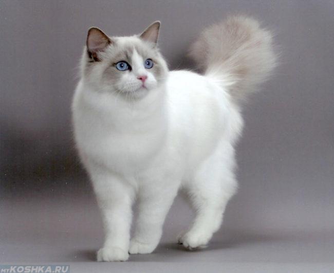 Белая пушистая кошка с голубыми глазами