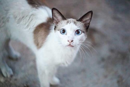 Белый с серым кот с голубыми глазами на улице