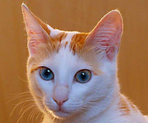 Белая с рыжим кошка с голубыми глазами на коричневом фоне