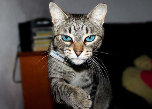 Серый полосатый кот с голубыми глазами в квартире