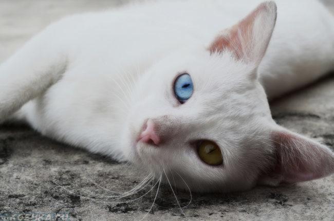 Белая кошка с разноцветными глазами