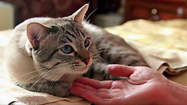 Рука заботливо держит кота за мордочку