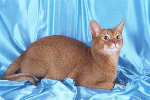 Абиссинская кошка на голубом шелковом фоне