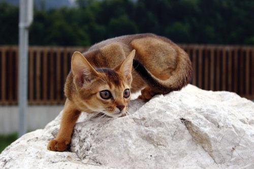 Абиссинская кошка на белом камне