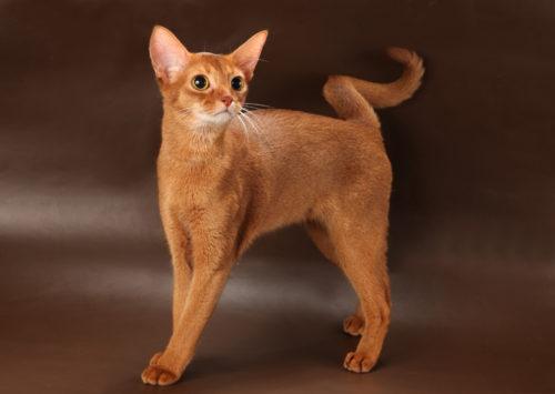 Абиссинская кошка на темном фоне