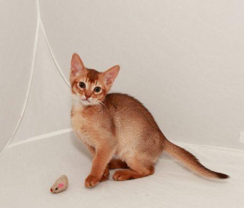 Абиссинская кошка с игрушкой