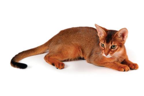 Абиссинская кошка на белом фоне с вытянутым хвостом