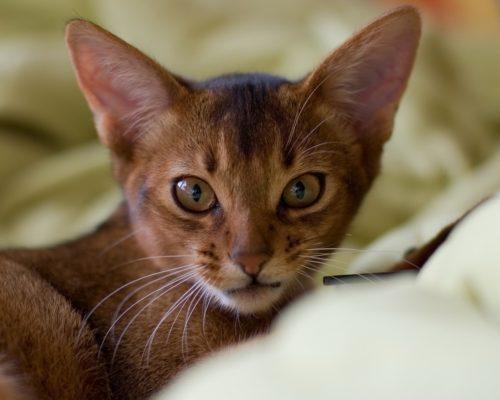 Абиссинская кошка с большими ушами