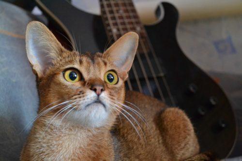 Абиссинская кошка и гитара