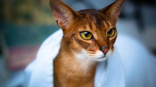 Абиссинская кошка под белым полотенцем