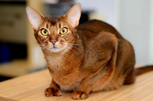 Абиссинская кошка с большими ушами и зелеными глазами