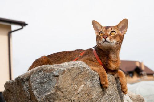 Абиссинская кошка на сером камне