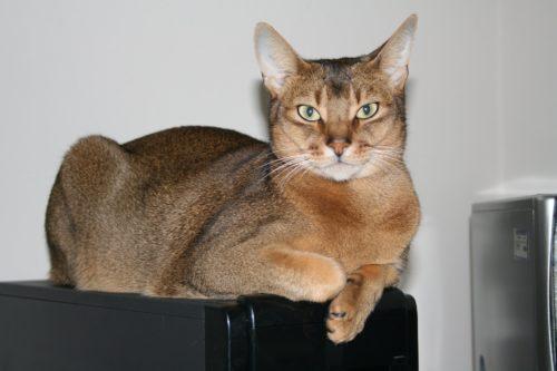 Абиссинская кошка на черном телевизоре