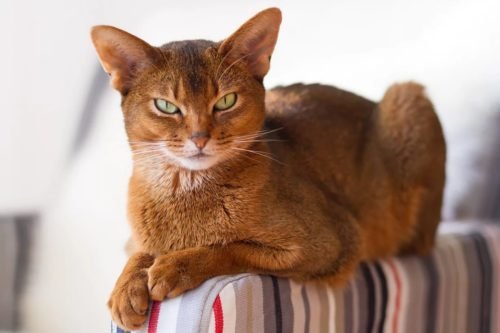 Абиссинская кошка на разноцветном кресле