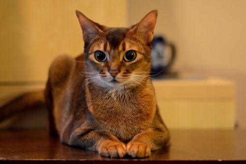 Коричневая абиссинская кошка