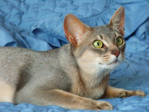 Абиссинская кошка на голубом покрывале