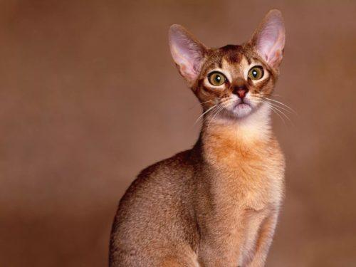 Абиссинская кошка на коричневом фоне