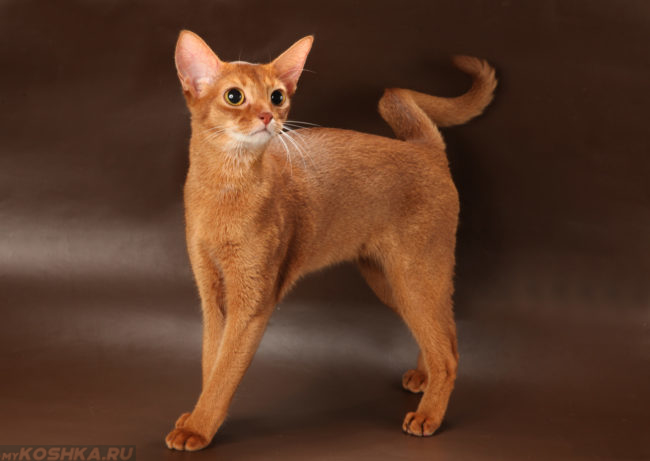 Абиссинский рыжий кот на коричневом фоне