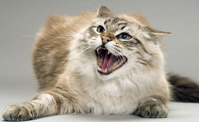 Пушистая серая кошка с открытым ртом