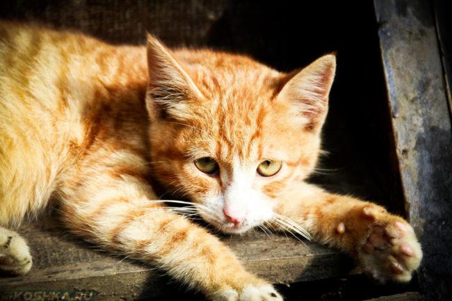 Рыжий кот лежит и грустно смотрит