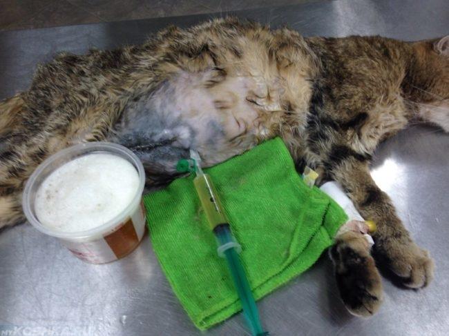 У кота с асцитом откачивают жидкость из живота