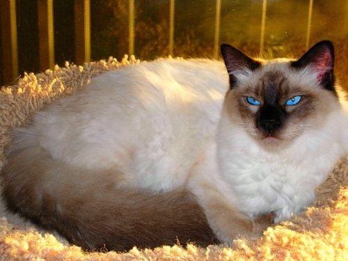 Балийская кошка с голубыми глазами лежит на лежанке