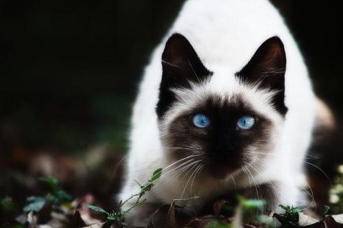 Балийская кошка с черными ушами стоит на земле