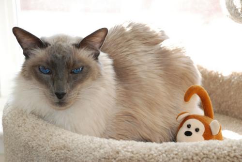 Серая балийская кошка сидит в лежанке с игрушкой