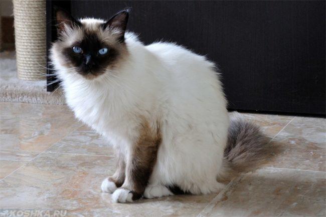 Балийская кошка с голубыми глазами сидит на полу