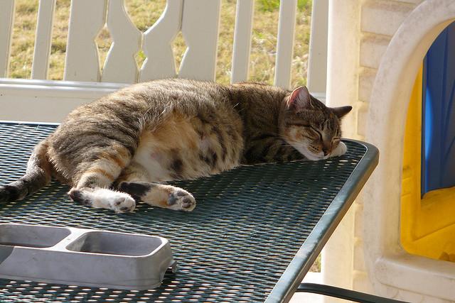 Беременная кошка спит на столе