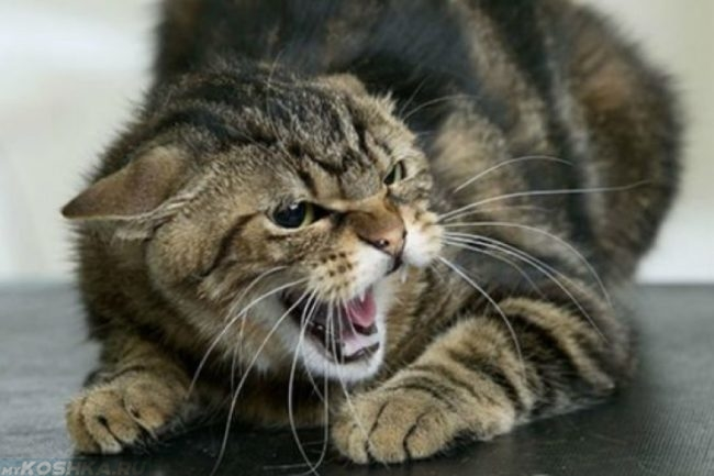 Кот с белыми длинными усами и открытым ртом