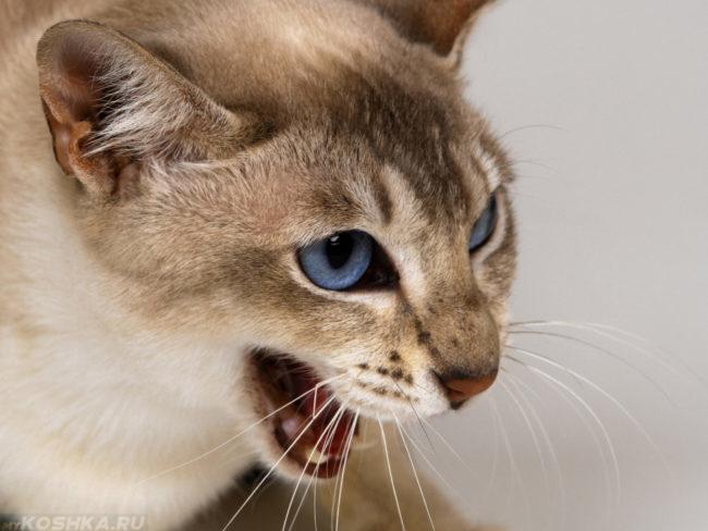 Кошка с голубыми глазами шипит растопырив усы