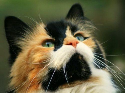 Пушистая разноцветная беспородная кошка